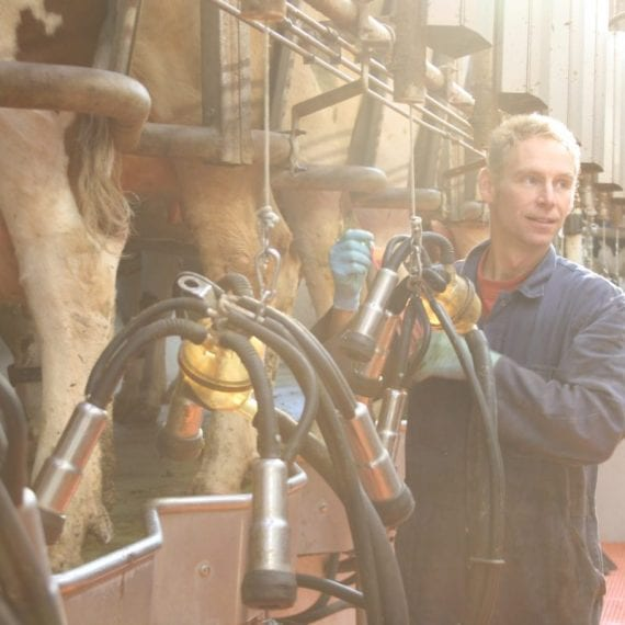 Farmer Koen milks the cows.
